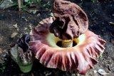 BKSDA Bakal Pagari Bunga Bangkai di Pekarang Rumah Warga Manggopoh