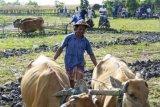 Denpasar (Antara Bali) - Dua petani menghela sapi saat lomba membajak sawah terkait perayaan Hari Tumpek Kandang, di Desa Kertalangu, Denpasar, Bali, Minggu (3/1). Kegiatan itu untuk mengingatkan kembali makna hari baik bagi binatang piaraan agar hewan tersebut senantiasa terjaga kelestariannya termasuk tradisi yang terkait. FOTO ANTARA/Nyoman Budhiana/10.