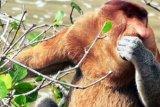 Misteri Bekantan Pulau Kumala (ANTARA News) - Keberadaan puluhan bekantan