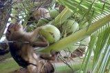 Lomba beruk panjat kelapa masuk agenda Festival Pesona Gandoriah