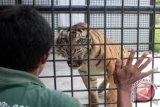 Sumatran tigers seen wandering around Kambang Timur village