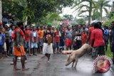 Dua kampung yang berperang sepakat denda adat 65 ekor babi