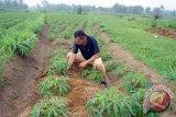 Harga Singkong Di Lampung Timur Naik