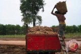 Harga singkong di Lampung Timur turun