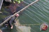 Ikan Nike  Berkurang Akibat Kwalitas Air Danau Tondano