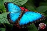 Mahasiswa UNY temukan enam spesies baru kupu-kupu
