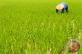 Petani Vietnam tanam padi di malam hari hindari suhu semakin panas