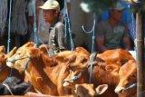 Malang (Antara Bali) - Seorang peternak menjual sapi miliknya di sebuah pasar sapi yang kini makin sepi di Tumpang, Malang, Jawa Timur, Jumat (13/4). Pemerintah menetapkan total kuota impor sapi bakalan pada tahun 2012 sebanyak 283 ribu ekor sedangkan daging sapi sebanyak 34 ribu ton daging beku. FOTO ANTARA/Ari Bowo Sucipto/2012.