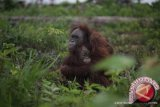 Tiga Orangutan sudah berada di alam bebas