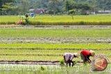 Bantul uji coba penggabungan sawah petani