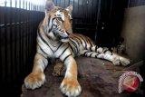 Harimau Medan Zoo Lahirkan Anak