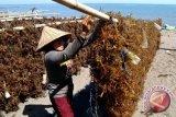 Panen Rumput Laut Mukomuko Terlambat