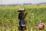 Produksi Kedelai Petani Sulteng Meningkat