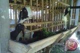 Kulon Progo selenggarakan kontes ternak kambing PE