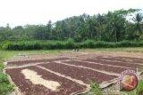 Petani Kulon Progo mulai panen raya cengkih