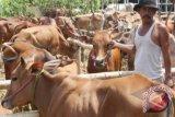 Science Techno Park Sumsel fokus kembangkan sapi