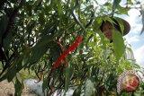 Petani cabai Kulon Progo beralih menanam pepaya