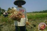 Puluhan hektare tanaman bawang merah diserang ulat