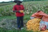 Petani Bantul optimalkan kompos tingkatkan produktivitas jagung