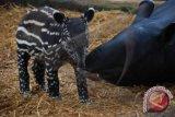 Tapir milik suku anak dalam dilepasliarkan ke hutan adat