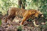 Harimau Masuk Pemukiman Gegerkan Warga Tanjabtim