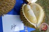 Durian Salak (Tangken) dari Punti Meraga, Entikong, sebagai juara ketiga kontes durian unggul se-Kalbar di Kecamatan Sekayam, Kabupaten Sanggau, Sabtu (15/12).