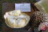 Durian Semut, juara dua pada Kontes durian se-Kalbar di Sekayam, Kabupaten Sanggau, Sabtu (15/12).