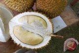 Durian Parung milik Syafrudin dari Desa Balai Karangan meraih juara pertama pada Kontes Durian Unggul se-Kalbar, Sabtu (15/12) diikuti 86 peserta dari kecamatan sekitar Kabupaten Sanggau.