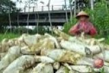 Indonesia tidak perlu impor ubi kayu