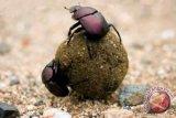 Kumbang gunakan bintang sebagai pemandu arah