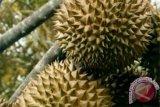 Durian Gayo makin diminati konsumen dan dipasarkan ke provinsi tetangga