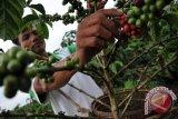 Petani OKU Selatan resah produktifitas kebun kopi menurun