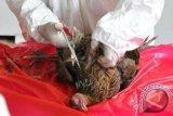 Penyebaran flu burung agar diwaspadai para peternak di Curup