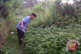 Kulon Progo kembangkan budidaya tanaman nilam