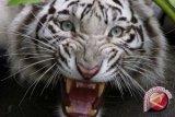 Jateng Selamatkan Macan Tutul