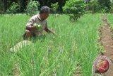 Hama ulat serang tanaman bawang di Kulon Progo