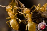 Cara ampuh usir semut dan cegah datang kembali