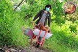 Seorang penjaga hewan (Animal Keeper) mendorong kereta berisi beberapa ekor bayi Orangutan (pongo pygmaeus pygmaeus) di pusat rehabilitasi Yayasan International Animal Rescue Indonesia (YIARI) Ketapang, Kalbar, Kamis (11/4). Direktur Program YIARI Ketapang, drH Adi Irawan menyatakan bahwa saat ini populasi Orangutan yang tersisa 2500 ekor di hutan desa Pematang Gadung dan Gunung Palung semakin terancam berkurang, karena bertambah maraknya pembalakan liar serta pembukaan lahan perkebunan kelapa sawit di Kabupaten Ketapang. FOTO ANTARA/Jessica Helena Wuysang