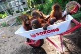 Sejumlah bayi Orangutan (pongo pygmaeus pygmaeus) di pusat rehabilitasi Yayasan International Animal Rescue Indonesia (YIARI) Ketapang, Kalbar, Kamis (11/4). Direktur Program YIARI Ketapang, drH Adi Irawan menyatakan bahwa saat ini populasi Orangutan yang tersisa 2500 ekor di hutan desa Pematang Gadung dan Gunung Palung semakin terancam berkurang, karena bertambah maraknya pembalakan liar serta pembukaan lahan perkebunan kelapa sawit di Kabupaten Ketapang. FOTO ANTARA/Jessica Helena Wuysang