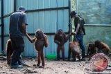 Dua penjaga hewan (Animal Keeper) menuntun beberapa ekor Orangutan (pongo pygmaeus pygmaeus) dewasa, di pusat rehabilitasi Yayasan International Animal Rescue Indonesia (YIARI) Ketapang, Kalbar, Kamis (11/4). Direktur Program YIARI Ketapang, drH Adi Irawan menyatakan bahwa saat ini populasi Orangutan yang tersisa 2500 ekor di hutan desa Pematang Gadung dan Gunung Palung semakin terancam berkurang, karena bertambah maraknya pembalakan liar serta pembukaan lahan perkebunan kelapa sawit di Kabupaten Ketapang. FOTO ANTARA/Jessica Helena Wuysang/ed/ama/13