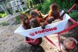 Sejumlah bayi Orangutan (pongo pygmaeus pygmaeus) di pusat rehabilitasi Yayasan International Animal Rescue Indonesia (YIARI) Ketapang, Kalbar, Kamis (11/4). Direktur Program YIARI Ketapang, drH Adi Irawan menyatakan bahwa saat ini populasi Orangutan yang tersisa 2500 ekor di hutan desa Pematang Gadung dan Gunung Palung semakin terancam berkurang, karena bertambah maraknya pembalakan liar serta pembukaan lahan perkebunan kelapa sawit di Kabupaten Ketapang. FOTO ANTARA/Jessica Helena Wuysang/ed/ama/13