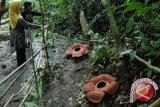 Habitat baru bunga Rafflesia ditemukan di Bukit Kaba