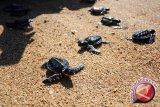 Kagama Virtual konservasi penyu di Pantai Baru