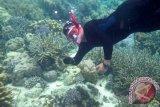 Seorang relawan dari komunitas White Dolphin menunjukkan bibit karang yang akan ditransplantasi di Pantai Tanjung Karang, Donggala, Sulawesi Tengah, Minggu (19/5). Transplantasi karang itu dimaksudkan untuk menyelamatkan habitat laut di perairan tersebut akibat kerusakan terumbu karang yang mencapai lebih dari 60 persen. ANTARA FOTO/Basri Marzuki/nym/2013.