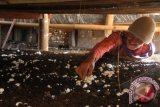 Sukarjo (58) memanen jamur kancing di lereng Gunung Bromo di Desa Wonokerto, Probolinggo, Jawa Timur, Sabtu (4/5). Jamur kancing hasil panen tersebut dijual ke pengepul jamur dengan harga Rp. 12.500 per kilogram. FOTO ANTARA/Ari Bowo Sucipto/Koz/mes/13.