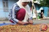 Seorang petani menjemur bunga cengkih hasil panennya di Pulau Lemukutan, Bengkayang, Kalbar, Minggu (12/5). Selama musim panen cengkih di pulau tersebut, petani menjual cengkih basah seharga Rp.50 ribu per kilogram dan cengkih kering seharga Rp. 100 per kilogram kepada pengepul di Bengkayang serta Kota Pontianak. ANTARA FOTO/Jessica Helena Wuysang