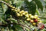 Petani Karimun belajar budidaya kopi di Lampung