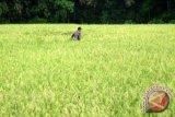 Kemajuan sektor pertanian Indonesia dapat pujian FAO