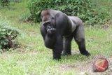 Bayi Gorila Tewas di Kebun Binatang Carolina Utara