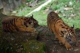 Anak Harimau dan Macan Dahan Tambah Koleksi TMSBK